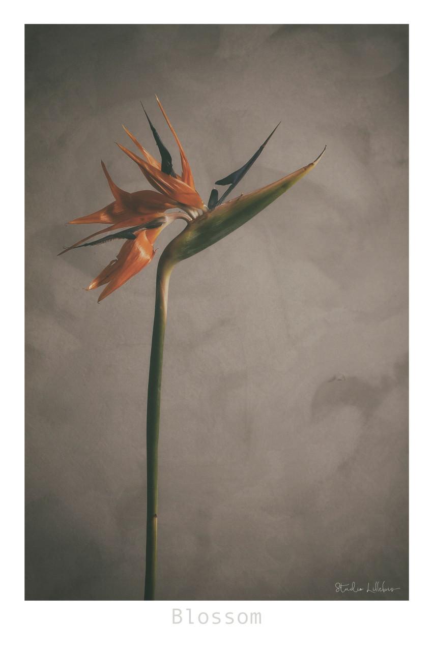 Blossom15-xs